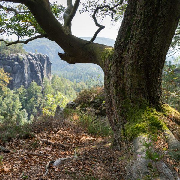 Baum am Oberen Terrassenweg, Affensteine