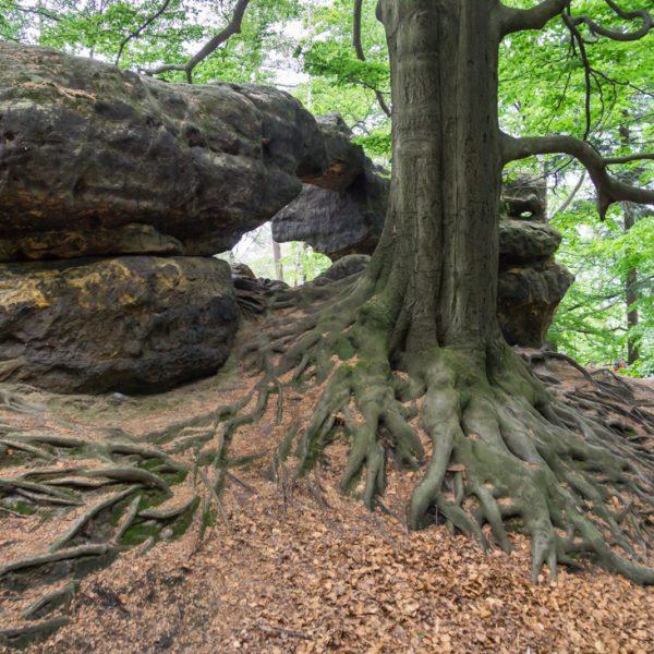 Wurzel und Felsen am Kleinen Prebischtor
