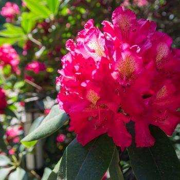 Im Rhododendrongarten nahe der Kleinen Bastei