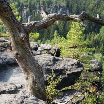 Bielablick, alter Baum auf dem Sandsteinplateau