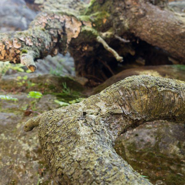 Wurzel an den Kletterfelsen im Bielatal