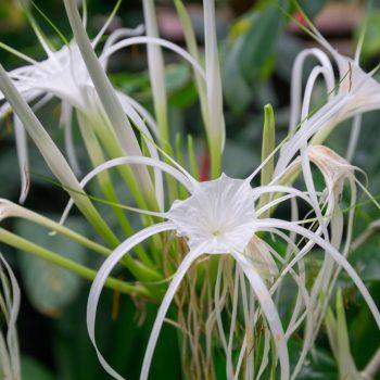 Hymenocallis Expansa im Botanischen Garten Dresden