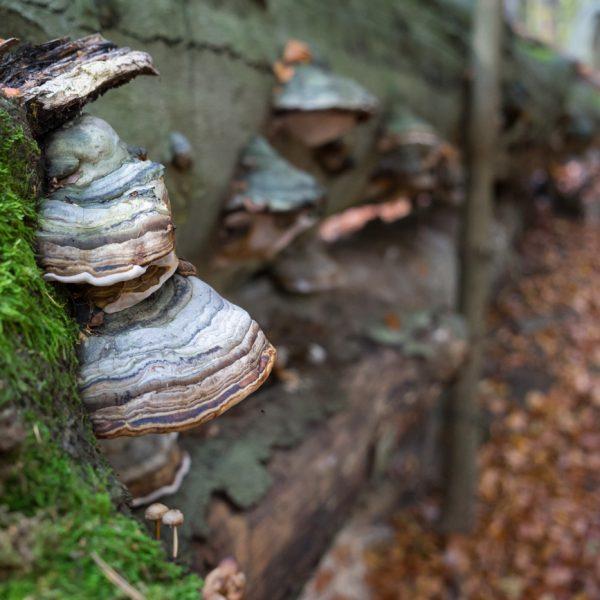 Altholz, Pilze und Laub