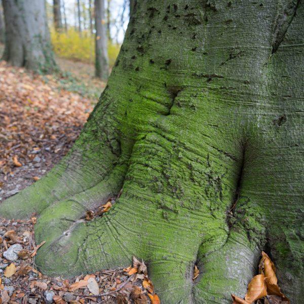 in der Parkanlage in Stolpen, Detail eines Baumes