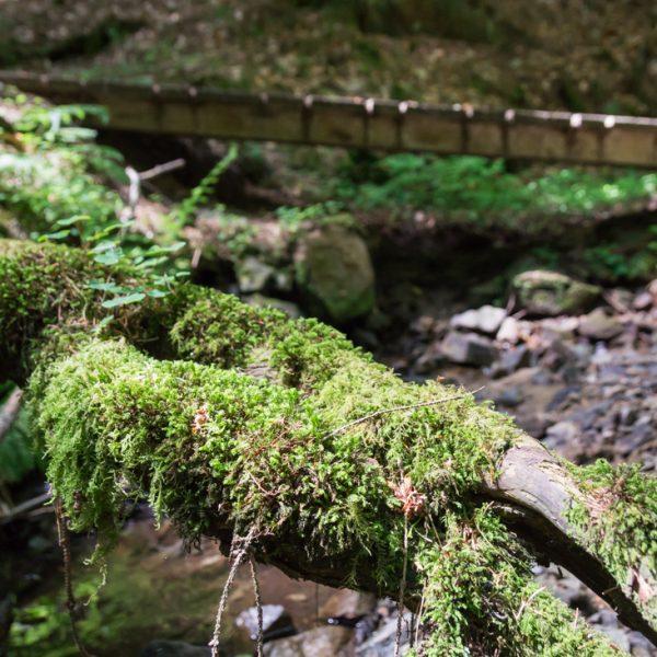 Sieben Brücken Trail, mit Moos benetzte Wurzel am Steingründchenwasser
