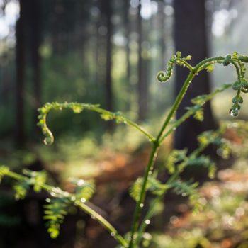 mit Wassertropfen benetzter Farn, Dresdner Heide