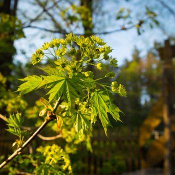 Abendlicht und Ahornblüte im Garten der Heidemühle