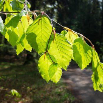 Frisches Blattgrün in der Dresdner Heide