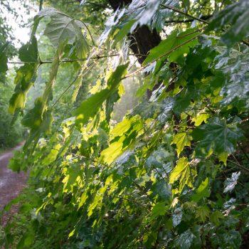 frisches Blattgrün nach dem Regen, Dresdner Heide