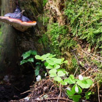 Klee, Moos und Pilz an einem alten Baumstamm, Bischofsweg Dresdner Heide