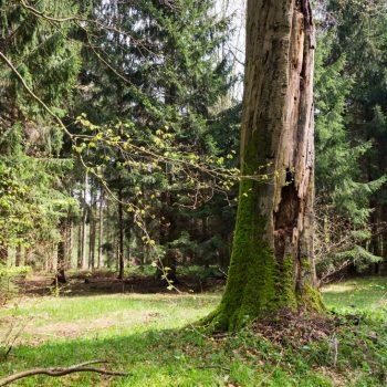 Alter Baumstamm am Wanderpfad Brille, Dresdner Heide