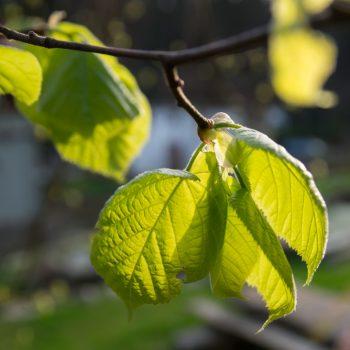 frisches Blattgrün in der Heidemühle im Frühling