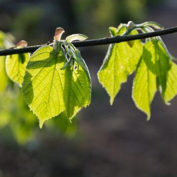frisches Blattgrün in der Dresdner Heide im Frühling