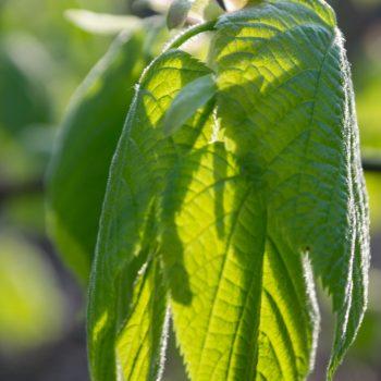 frisches Blattgrün im Frühling