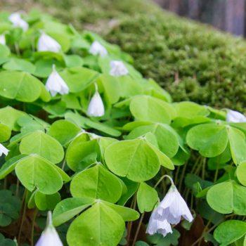 Frühling in der Dresdner Heide, Sauerklee wächst im Moos