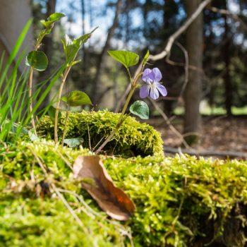 Frühling Dresdner Heide, Veilchen wächst auf einem bemoosten Baumstamm