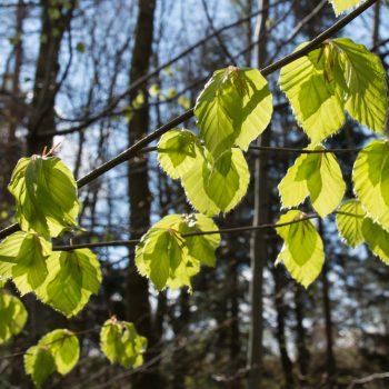 frisches Blattgrün der Buche, Dresdner Heide im Frühling