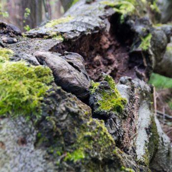 bemooster Baumstamm am Wegesrand, Wanderweg Kreuz Sieben in der Dresdner Heide