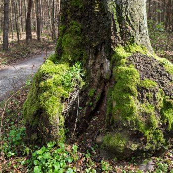 bemooster Baumstamm am Wegesrand, Wanderweg Doppel E in der Dresdner Heide