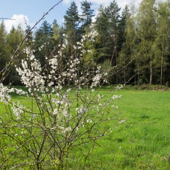 Frühling und Blüten am Wanderweg Krumme Neun, Dresdner Heide