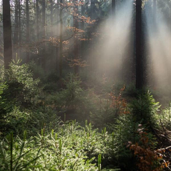 Lichtstimmung im Zauberwald, Dresdner Heide
