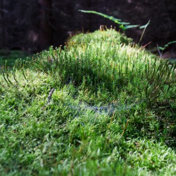 feuchtes Moos in der Dresdner Heide