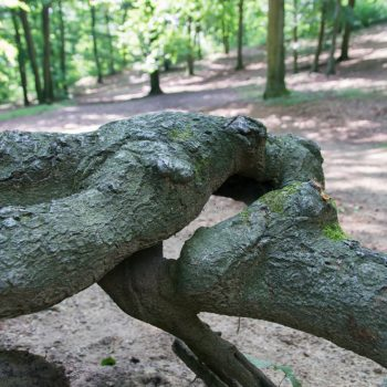 Wurzel in der Nähe der Schanze, Dresdner Heide