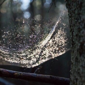 Spinnennetz und Wassertropfen im Gegenlicht, Dresdner Heide