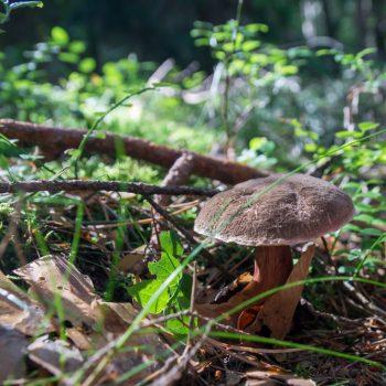Pilzsuche in der Dresdner Heide