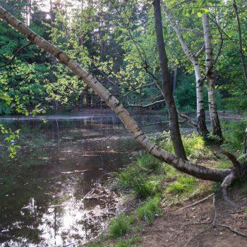 Birke am Ufer des Stausees, Dresdner Heide