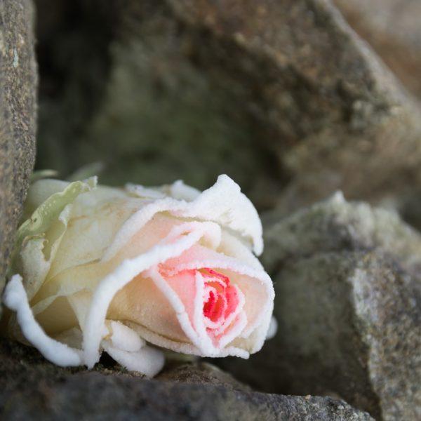 mit Eiskristallen benetzte Rose in den Mauern des Langebrücker Saugarten