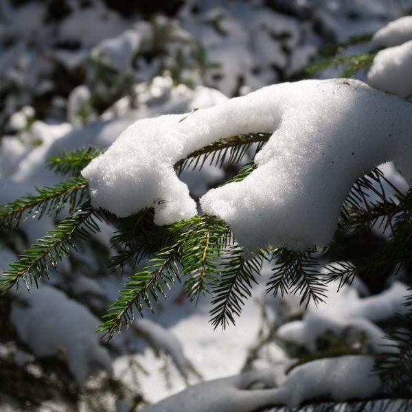 mit Schnee bedeckte Zweige in der Dresdner Heide