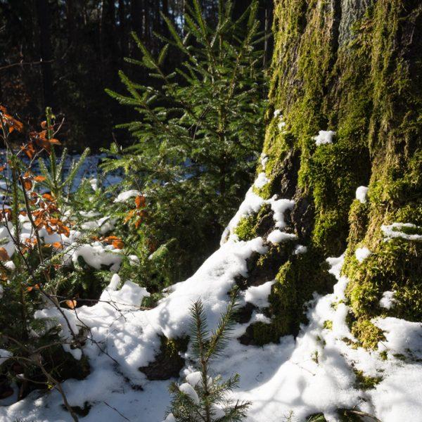mit Moos und Schnee benetzter Baumstamm, Dresdner Heide