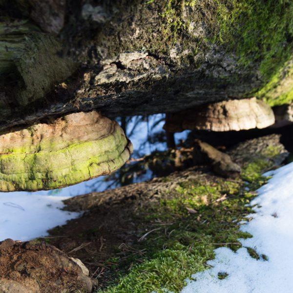 Baumstamm und Pilze am Wegesrand des Unterringel, Dresdner Heide