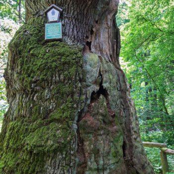 Naturdenkmal Rieseneiche, Dresdner Heide