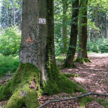 Bäume am Wegesrand, Kuhschwanz in der Dresdner Heide