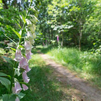 Blüten des Fingerhut am Wegesrand, Dresdner Heide