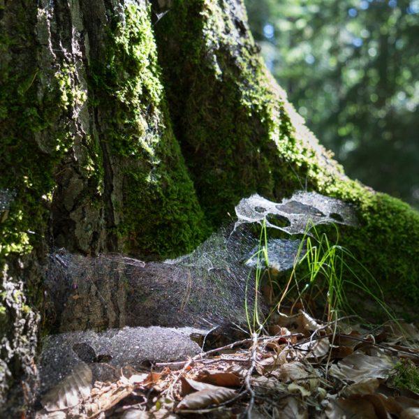 mit Moos und Gespinsten benetzter Baumstamm am Waldweg Kuhschwanz