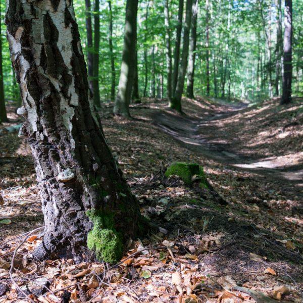 Kuhschwanz Singletrail, Q-Trail Dresdner Heide