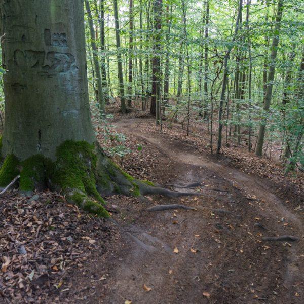 MTB Abfahrt durch dichten Wald, Singletrail Dresdner Heide
