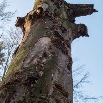 Alter Baumstamm am HG-Weg, Wanderung Dresdner Heide