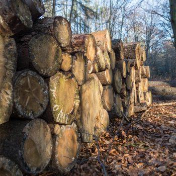 Holzstämme in der Dresdner Heide