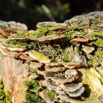 Pilze auf altem Holz, Dresdner Heide