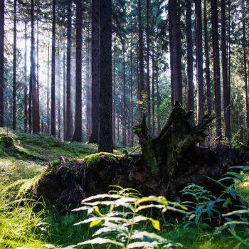 Wurzel und Bäume im Morgenlicht, Dresdner Heide