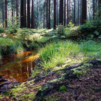 Rotbraun leuchtendes Wasser am Haarweidebach, Dresdner Heide