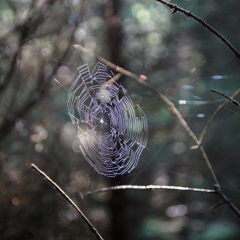 Spinnennetz im Gegenlicht, Dresdner Heide