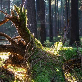 Wurzel mit Moos und Gespinsten, Wanderung Dresdner Heide