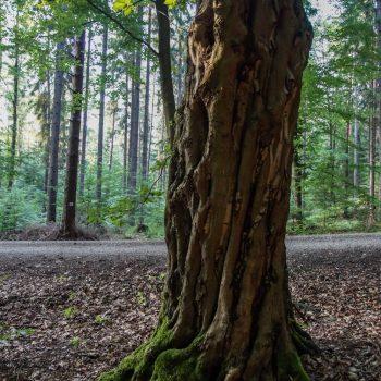 Alter Baum, Wanderung Dresdner Heide