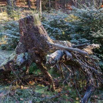 Wurzel im Winterwald, Wanderung Dresdner Heide