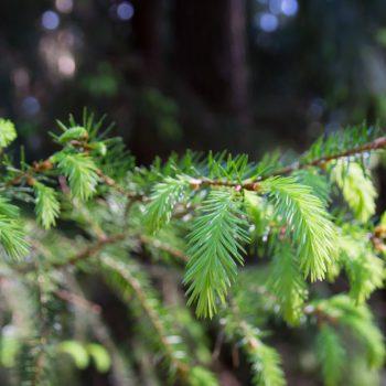 frisches Grün im Frühling, Dresdner Heide